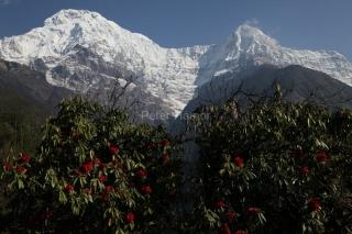 Annapurna South, Hiun Chuli a kvitnúce rododendrony v doline Modi Khola