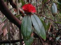 V rododendronovom pralese.