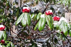 Himalájske rododendróny.
